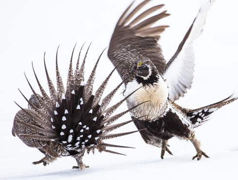 Greater Sage Grouse Fight